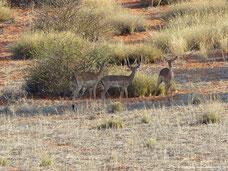 Impalas im Wildreservat der Auob Lodge
