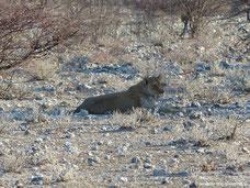 Etosha Nationalpark - Löwe