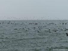 Kormorane in der Bucht von Walvis Bay