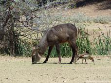 Mt. Etjo Safari Lodge - Wasserbock