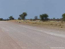 Ziegenherde am Wegesrand