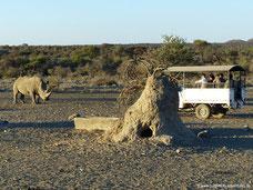Mt. Etjo Wildreservat - Duell zwischen Nashorn und Jeep