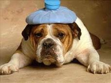 un bouldedog français marron et blanc couché une bouillote bleue sur la tête par coach canin 16 éducateur canin en charente