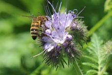 Développement d'une flore variée pour des ruches sédentaires