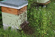 Des ruches libres, l'essaimage doit bien finir par arriver !!!!