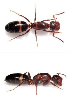 Camponotus (Colobopsis) truncatus