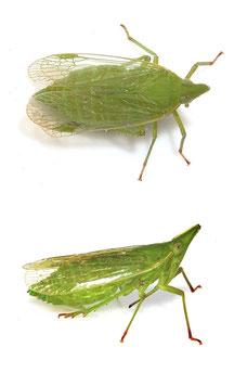 Dictyophara (Dictyophara) europaea