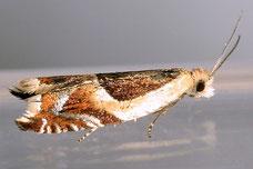Ancylis badiana