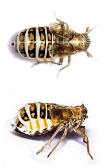 Dicranotropis (Dicranotropis) hamata