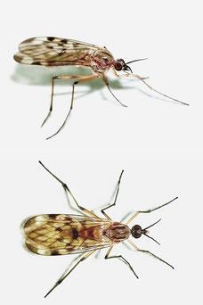 Sylvicola cf. fenestralis