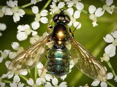 Chloromyia formosa