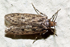 Hofmannophila pseudospretella