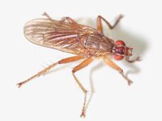 Scathophaga sp.