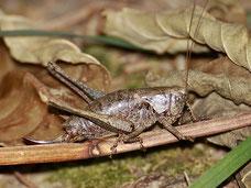 Pholidoptera griseoaptera