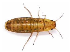 Atheroides serrulatus