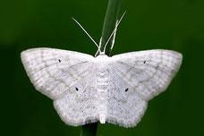 Scopula (Calothysanis) immutata