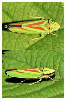 Graphocephala fennahi