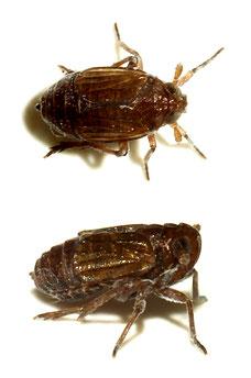Delphacodes venosus