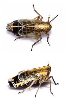 Megadelphax sordidulus