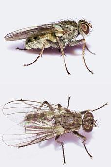 Lispocephala spuria