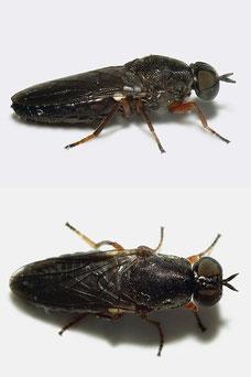 Scenopinus fenestralis