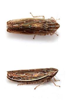 Arocephalus (Arocephalus) longiceps
