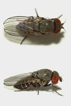 Cacoxenus (Cacoxenus) indagator