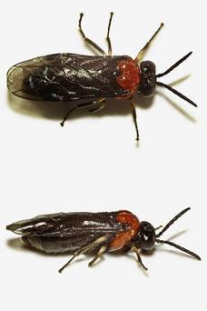 Eutomostethus ephippium