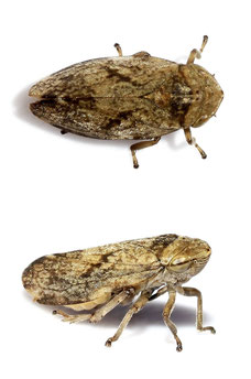 Philaenus spumarius