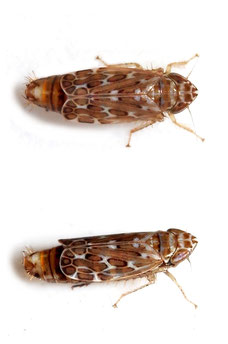 Jassargus (Obtujargus) obtusivalvis