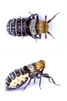 Conomelus cf. anceps