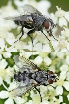 Blondelia nigripes