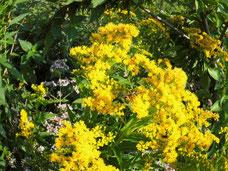 Wildbiene auf Goldrute, Harzer Gebirgsimkerei