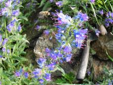 Harzer Biene sammelt Nektar auf Drachenkopf