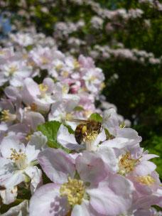 Biene bestäubt Harzer Obst