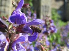 Biene auf Salbei im Kloster Michaelstein