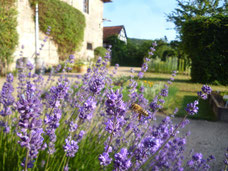 Biene im Kloster Michaelstein, Harzer Gebirgsimkerei