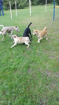 Hunde die spielen