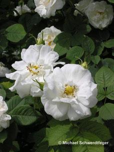 seit dem Mittelalter: Rosa alba ´Suaveolens´