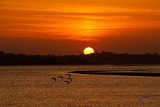 Vol d'oiseaux au raz de l'eau sur les reflets du couché de soleil à Carentec