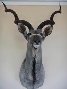 Großer Kudu, Jagdzeit, das Jagdmagazin für die Auslandsjagd
