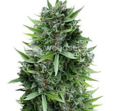 Jamaican Pearl Cannabis Sorte