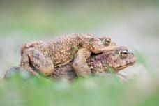 Wandernde Erdkröten