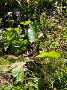 Rumex patience et piqûres d'insectes ou d'orties Coubortiges, sur la commune de Pouffonds, à quelques kilomètres de Melle en Sud Deux-Sèvres