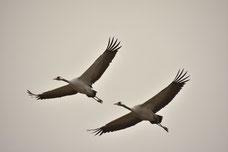 Vogel des Glücks , Zugvögel , Wildvögel , Großvögel , Herbst , Tierbeobachtung , Naturfotografie , Fliegende Vögel , Mecklenburg
