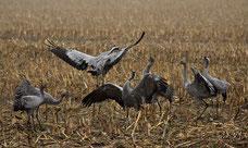 Kraniche , Zugvögel , Herbst , Großvögel , Groß Mohrendorf , Naturbilder , Natur , Fotografie , Birdwatching , Animals , tiere , Birds , Autum ,