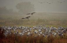 kraniche , Wildvögel , Zugvögel , Rasten , Tierfotografie , Natur , Herbst , Nationalpark , Animals , Birdwatching , Naturpicture , nature ,