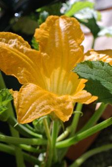 Zucchini-Blüten schmecken auch gut in der Zucchini-Soße