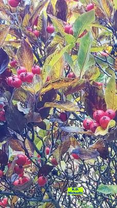 Die Magie der Natur: Ebereschen-Beeren/Vogelbeeren im Gegenlicht wirken eher wie ein Gemälde und laden zum Träumen ein von K.D. Michaelis