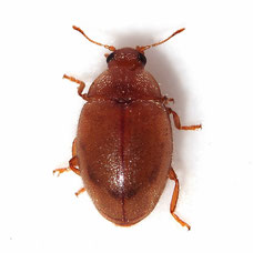 Rhyzobius litura